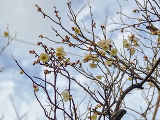 小児療育センターの近くの梅の花